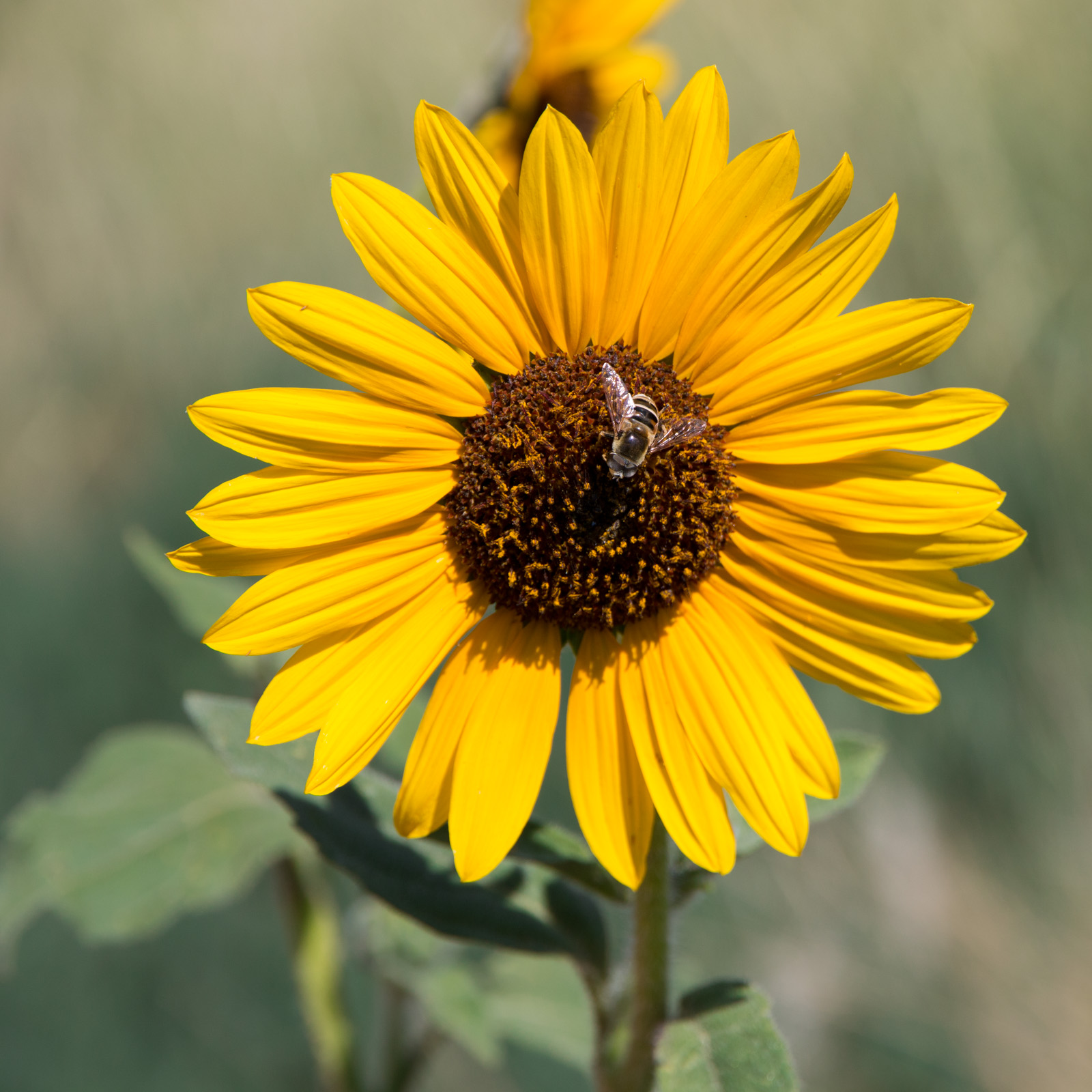 Beautiful Bee on a Sunflower