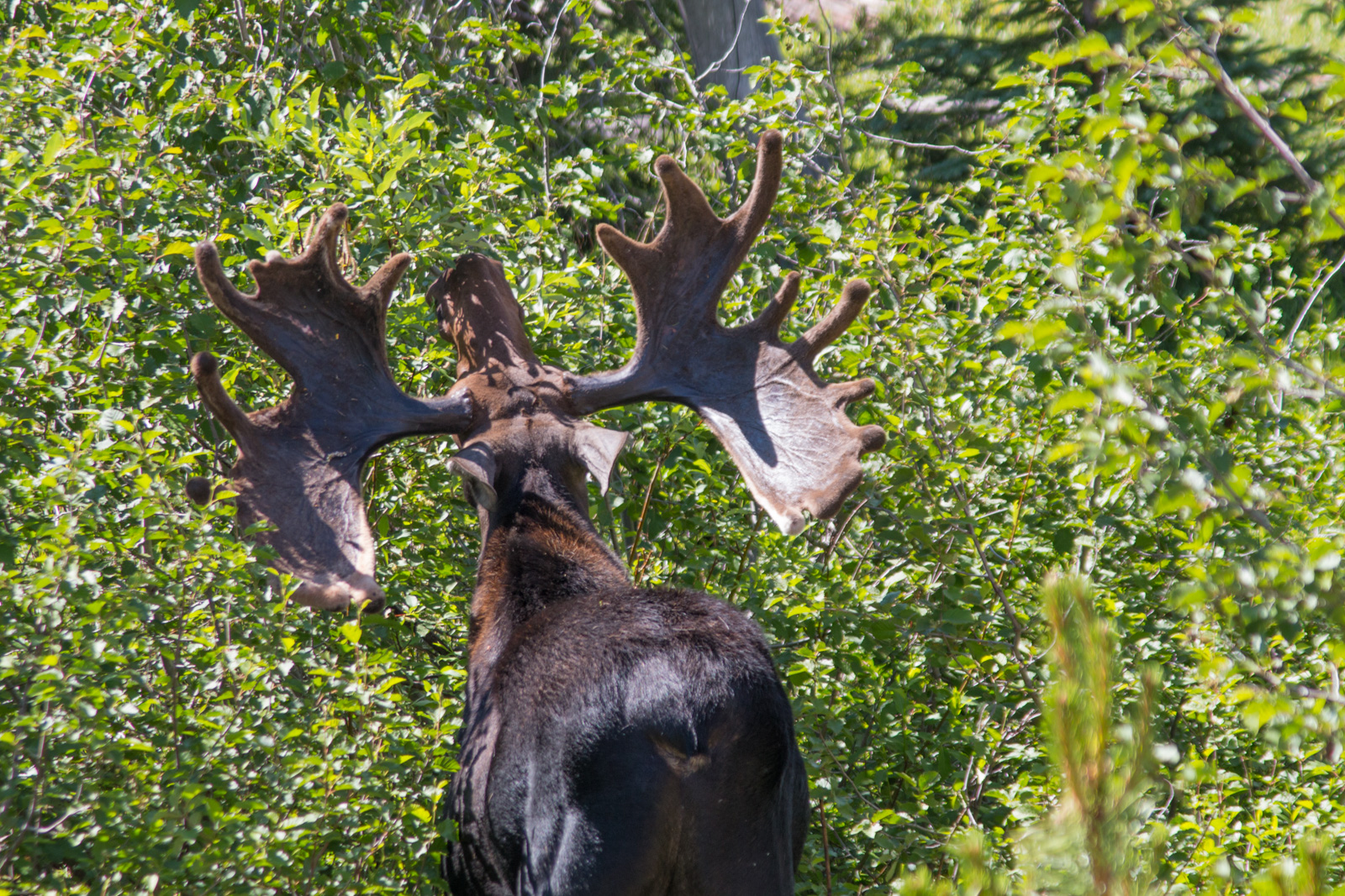 Big Moose Rack in RMNP
