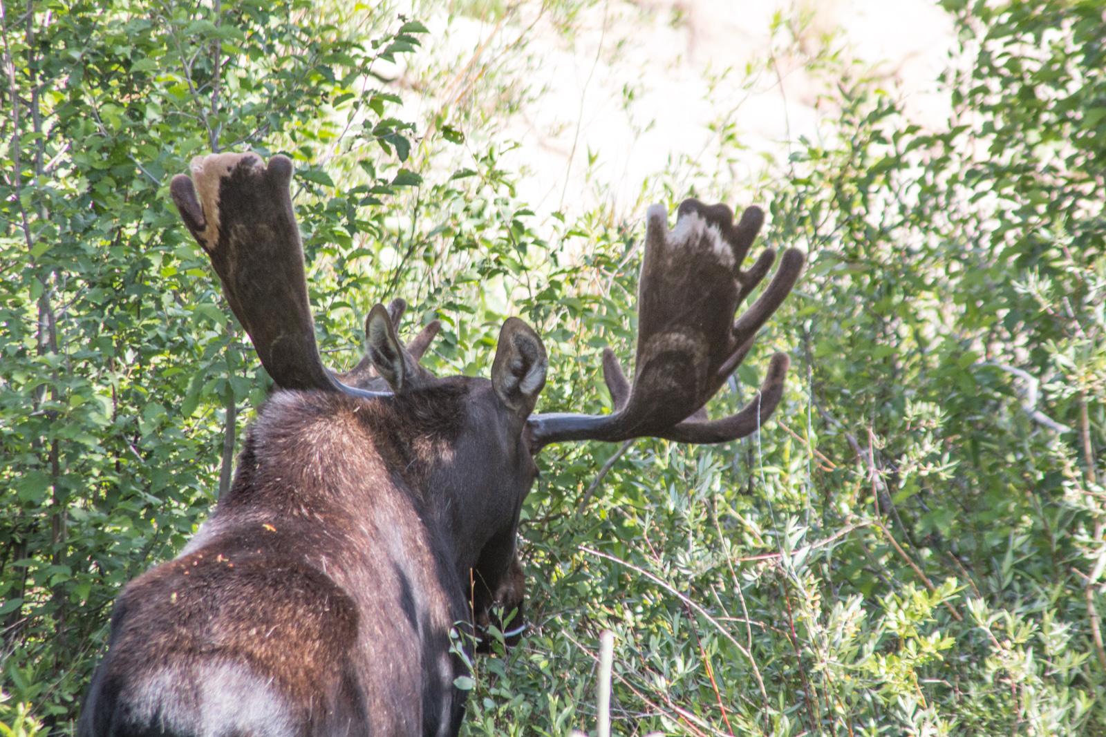 RMNP Bull Moose – Amazing Patterns on His Antlers