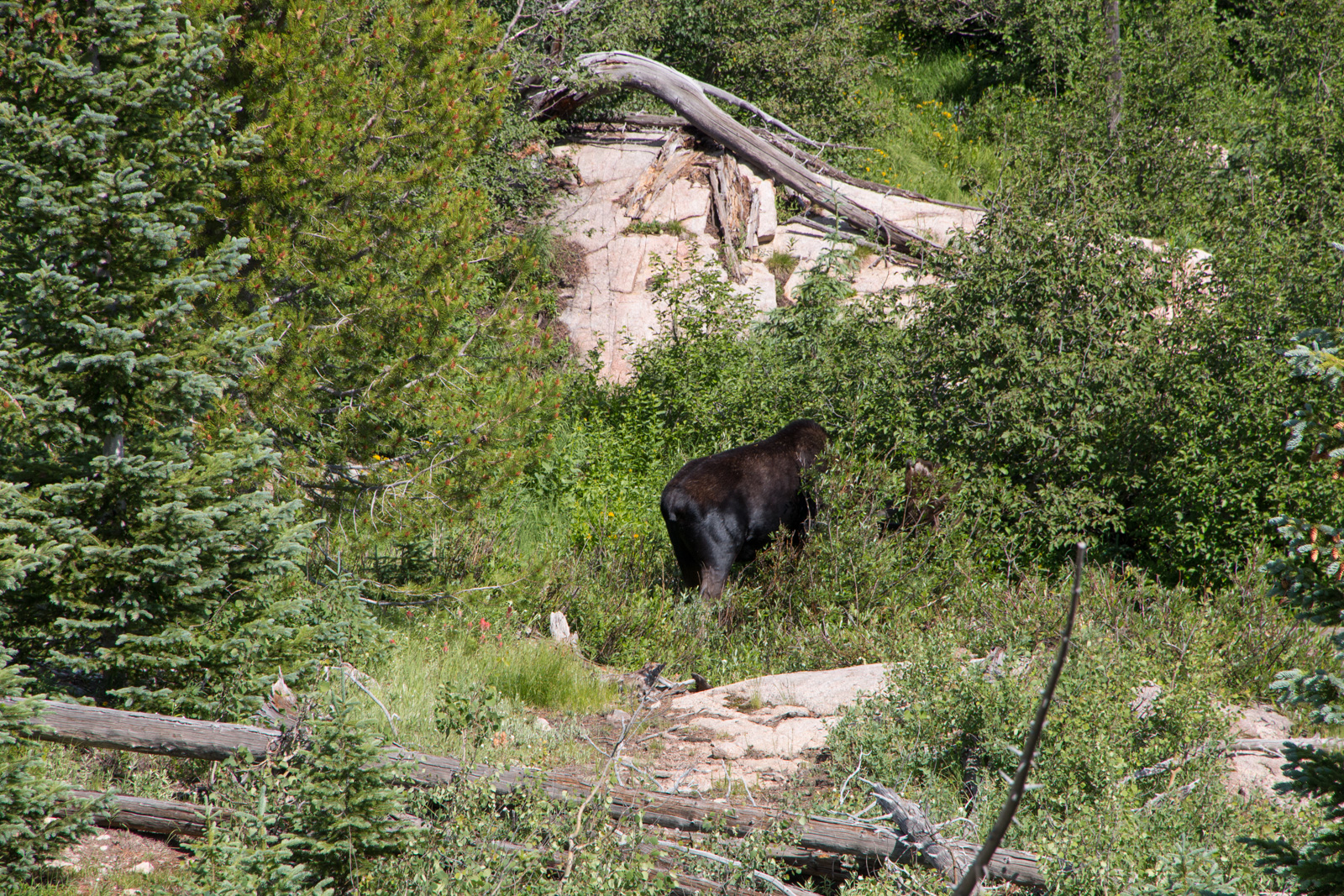 RMNP Bull Moose – First Sighting