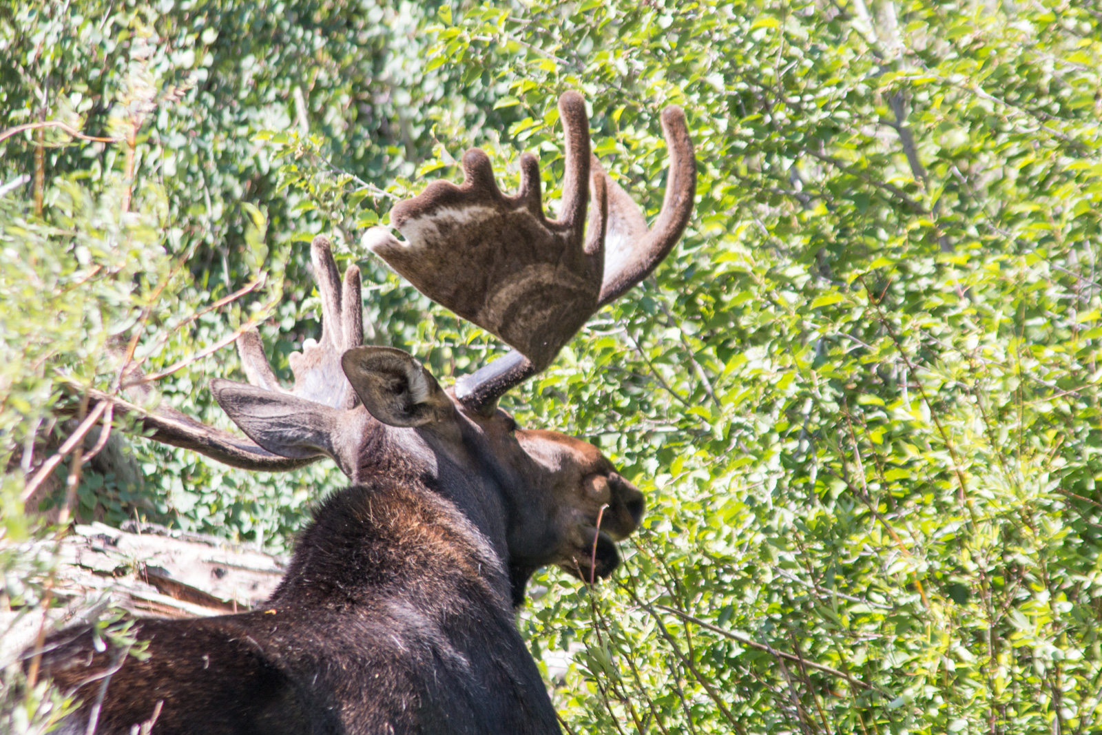 RMNP Bull Moose – Munching Away