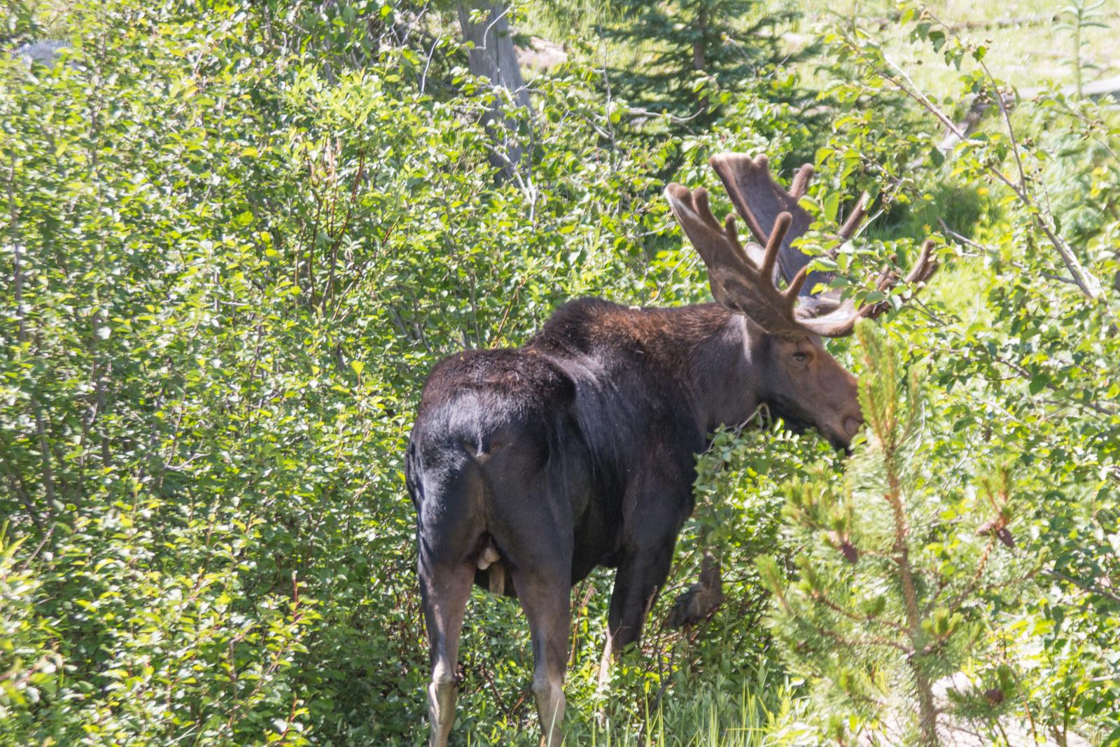 RMNP Bull Moose – Walking Away
