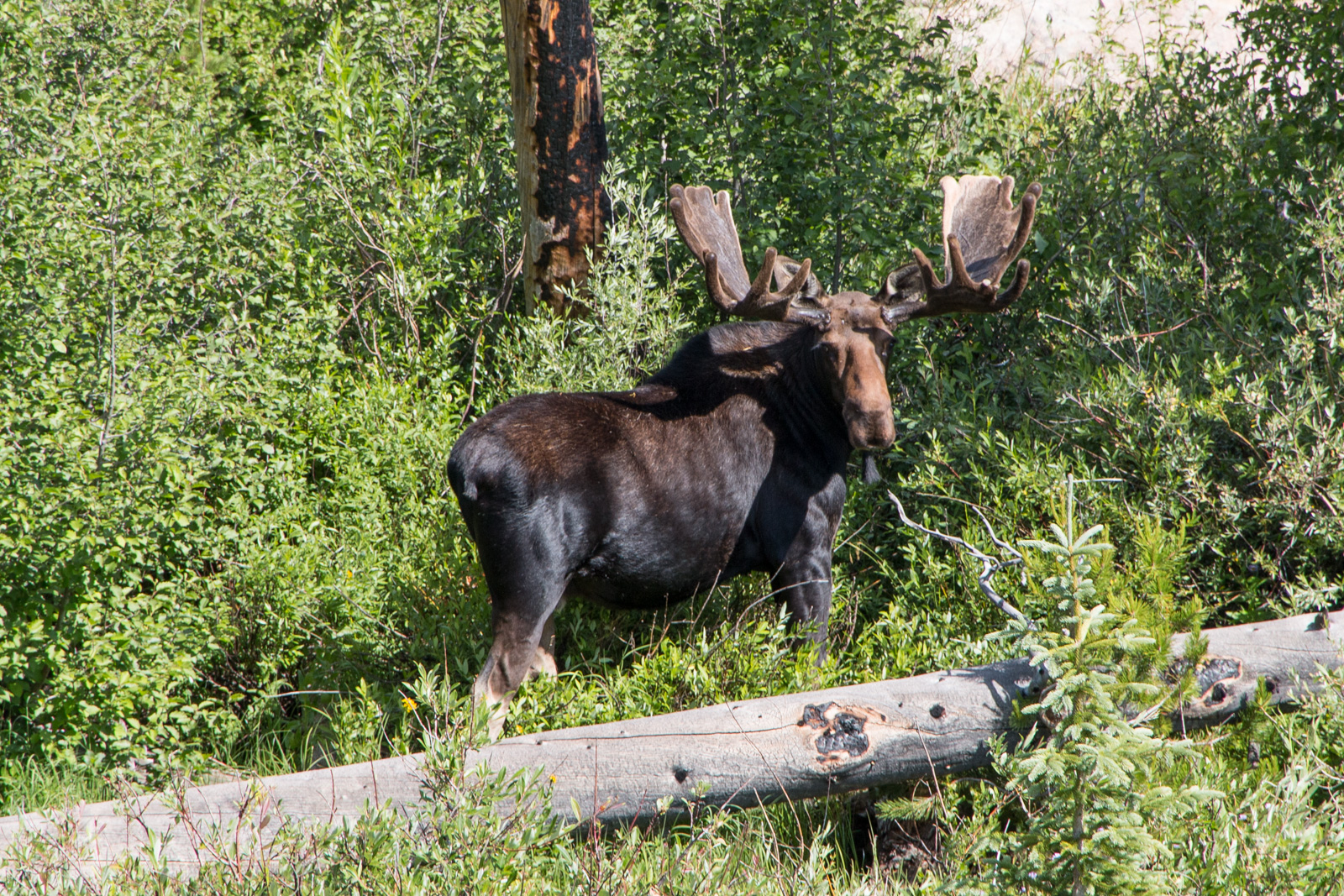 RMNP Bull Moose - Looking at Me