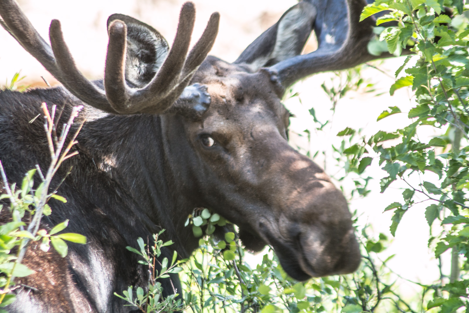 RMNP Bull Moose - So Ugly It's Cute