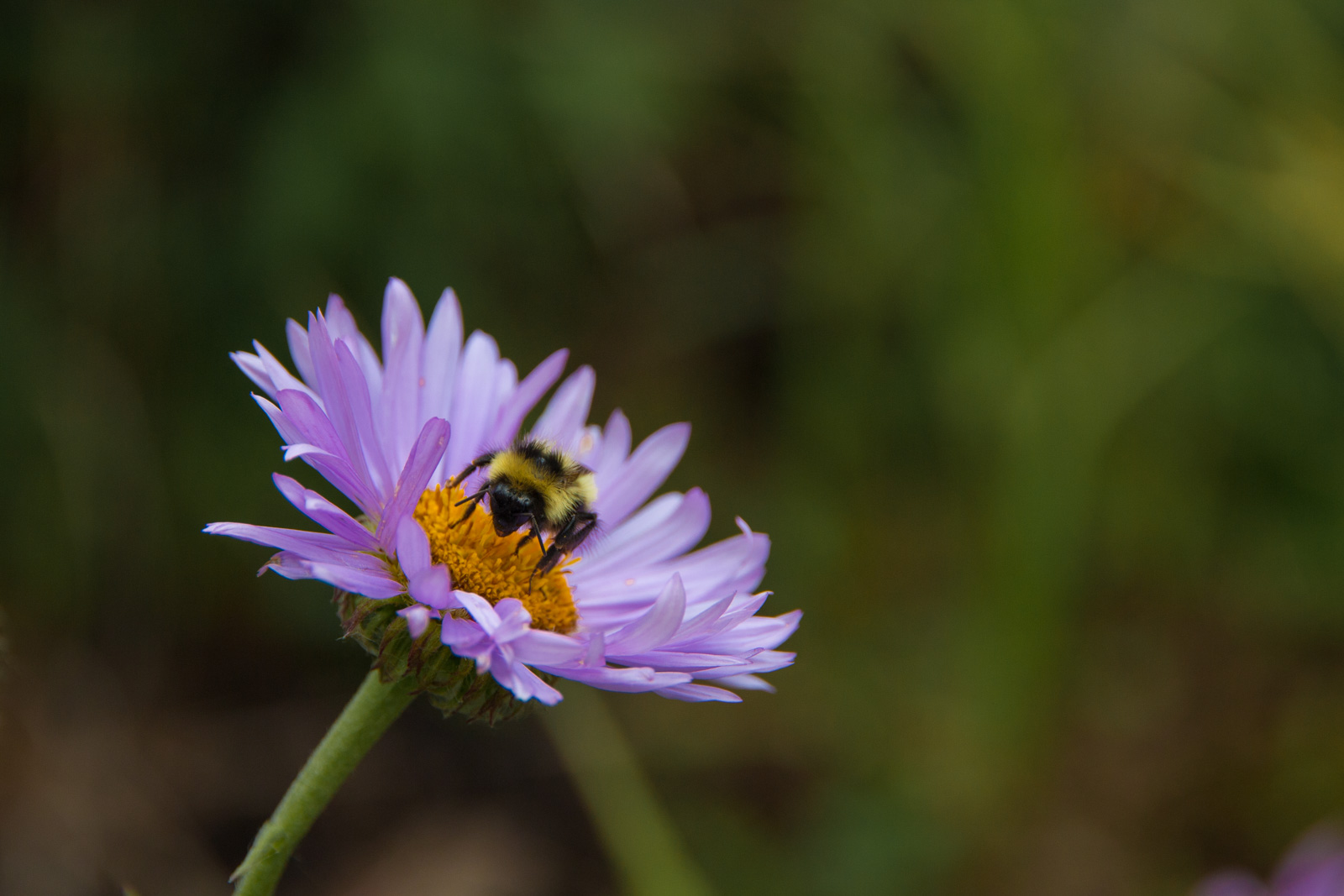 Colorado Tansy Aster Flower with a Bee