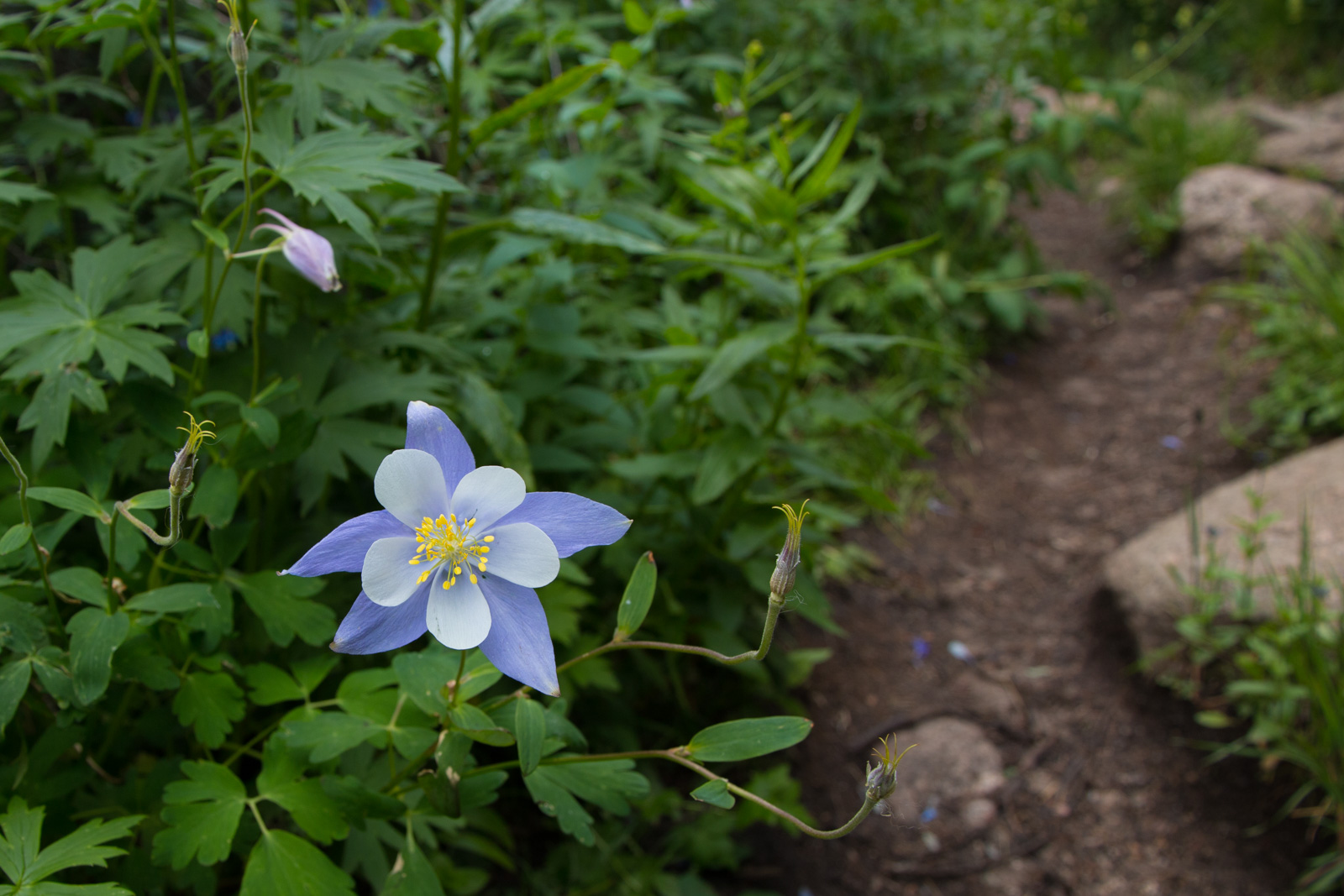 Columbine by the Trail
