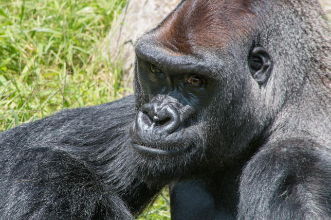 Beautiful Gorilla Lost in Thought